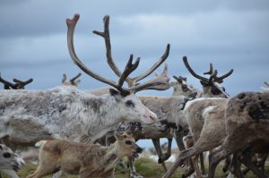 porot-kuuluvat-tuulelle-the-reindeer-belong-to-the-wind-kuva-pa%cc%88ivi-kapiainen-heiskanen